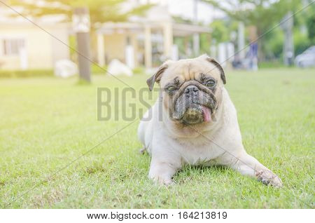 Cute pug dog relaxing on green grass with tongue sticking out