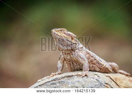 Bearded Dragon On A Rock.