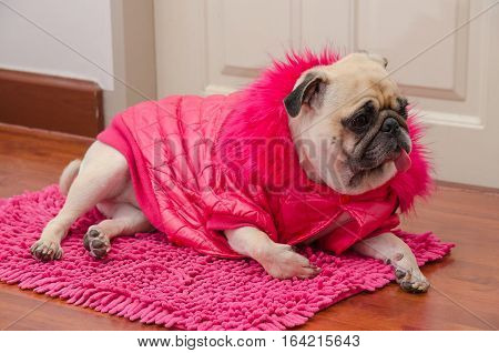 Cute dog pug with fashion pink dress wool sleep rest on floor and tongue out.