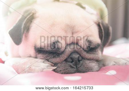 Cute pug dog sleep on bed with sun light from window