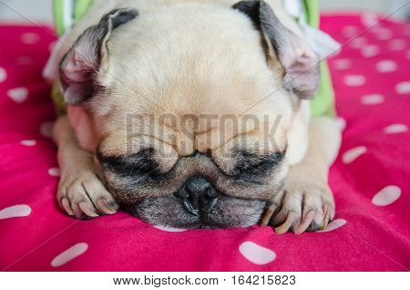 Close up face of Cute pug puppy dog sleeping rest on bed