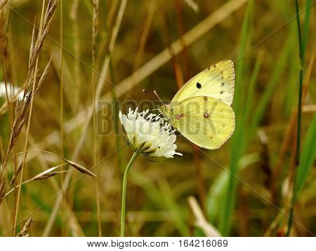 Yellow butterfly on a white flower in the grass.