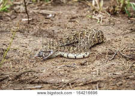 Puff Adder Feeding On A Mouse.