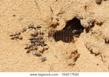 Closeup of the nature of Israel - cataglyphis ants