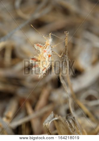 Closeup of the nature of Israel - bug on a dry grass