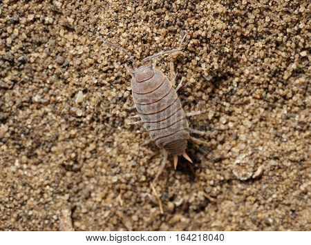 Closeup of the nature of Israel - woodlice on the sand
