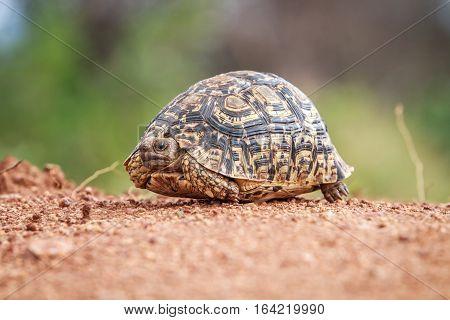Leopard Tortoise Walking On The Road.