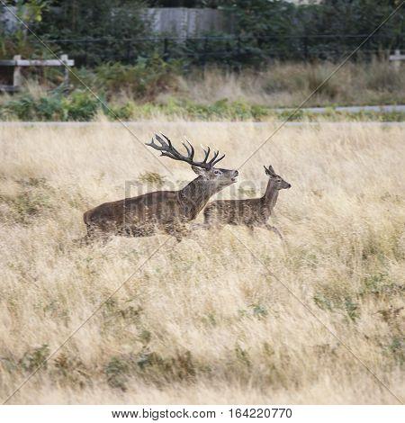 Beautiful Family Group Herd Of Red Deer Stag Cervus Elaphus During Rut Season In Forest Landscape Du