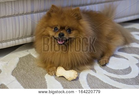 dog breed Pomeranian at home on the rug chewing a bone from tendons