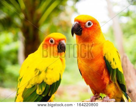 couple of Sun Parakeet or Sun Conure, the beautiful yellow and orange parrot bird with nice feathers details at Songkhla Thailand