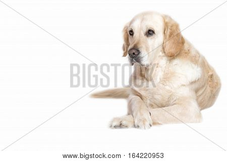Lovely Golden Retriever Dog is lying with its front paws crossed. Isolated on the white background.