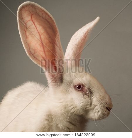 Portrait of a white rabbit with huge ears on grey background