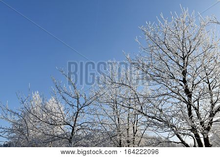 Frosted cherry trees blue sky background. Frost.