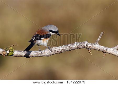 Bay-backed Shrike Bird (Lanius vittatus) perching on a branch