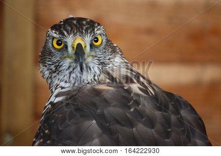 a portrait of a magnificent raptor bird
