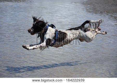 Working Type Engish Springer Spaniel Pet Gundog Jumping On A Sandy Beach