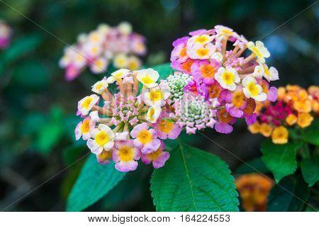 Close up view of Lantana Camara or known as tickberry