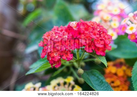 Close up view of Lantana Camara or known as tickberry