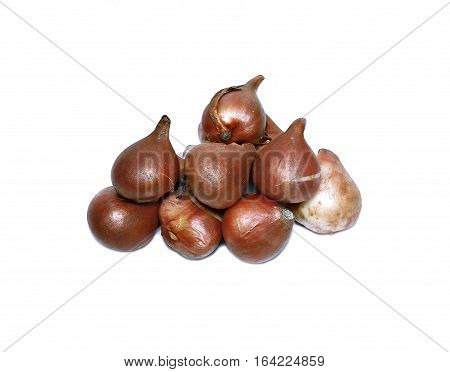 Bulbs of tulips isolated on a white background