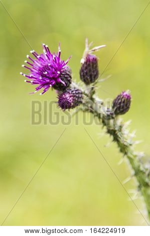Close-up of a Thistle in bloom the national flower of Scotland