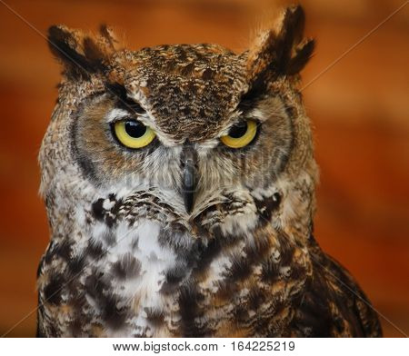 Portrait Of A Crowned African Eagle Owl