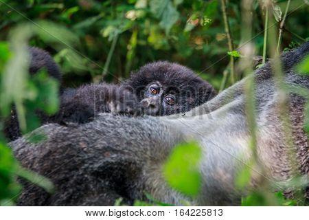 Baby Mountain Gorilla Hiding Behind A Silverback.