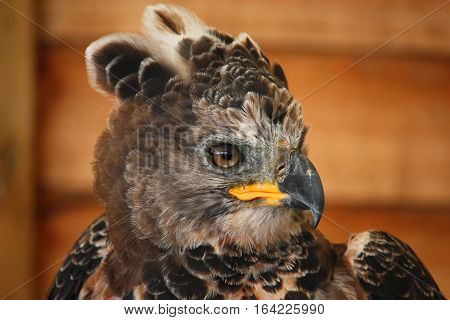 a magnificent african crowned eagle predator bird