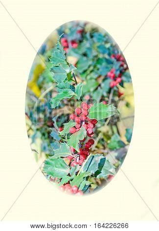 Ilex Or Holly Red Fruits, Shrub Genus In The Family Aquifoliaceae, Oval Shape
