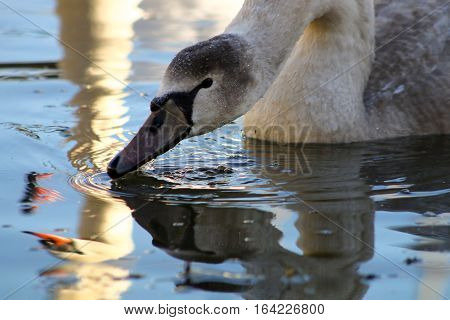 A cygnet feeding with it's parent reflected in the water