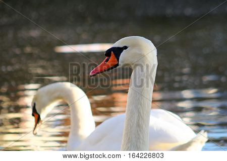 A pair of adult Mute Swans on a bright winter day