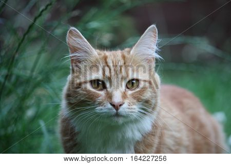 Beautiful long haired ginger and white domestic cat