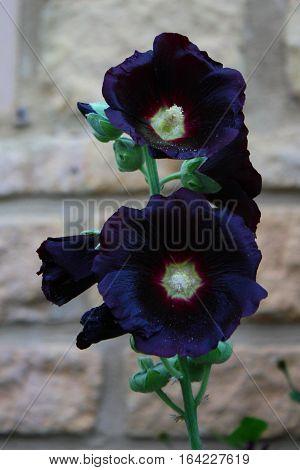 Beautiful dark black hollyhock flower in front of a brick wall