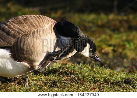 A Canada Goose scratching with a webbed foot
