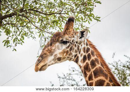 Eating Giraffe In The Kruger.