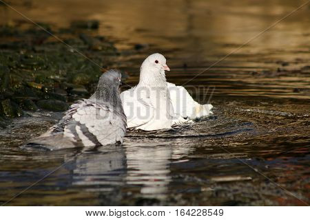An albino pigeon and it's companions bathing in a river