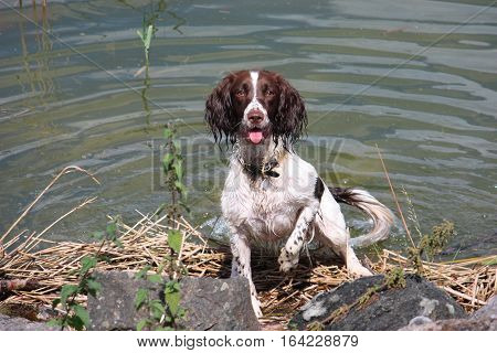 liver and white working type english springer spaniel pet gundog pointing in front of water