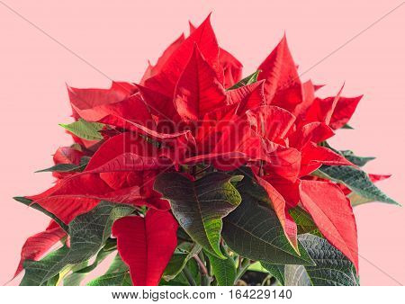 The Poinsettia Red Flowers (euphorbia Pulcherrima), The Flower Of The Christmas, Close Up