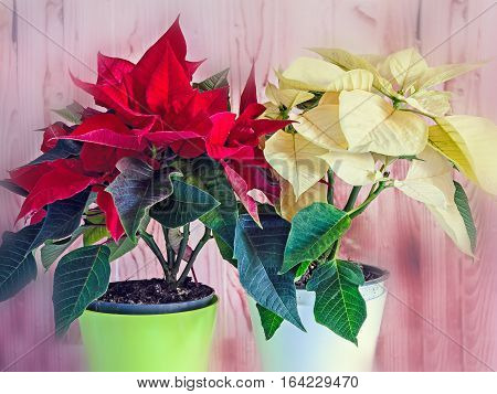 The Poinsettia Yellow And Red Flowers (euphorbia Pulcherrima), The Flower Of The Christmas, Blurred