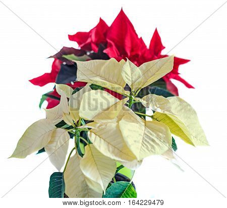 The Poinsettia Yellow And Red Flowers (euphorbia Pulcherrima), The Flower Of The Christmas, White Ba