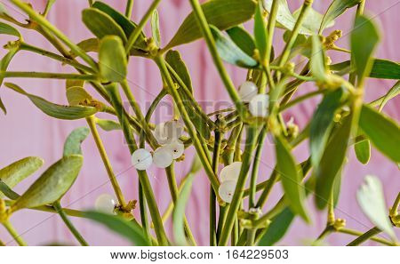 Viscum Album, Mistletoe Branch, Family Santalaceae, White Berry Fruits, Wooden Background