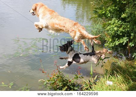 a beautiful golden retriever pet gundog and springer spaniel jumping in to water