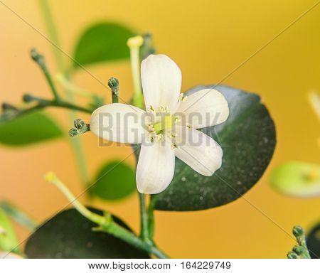 White Flowers Of Murraya Paniculata, Jasminul Portocal  (murraya Exotica, Chalcas Paniculata Sau Cha