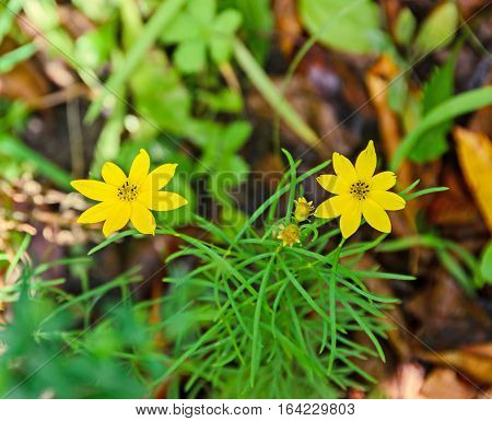 Yellow Bidens Aristosa Flowers, Bearded Beggarticks, Tickseed Sunflower, Bur Marigold