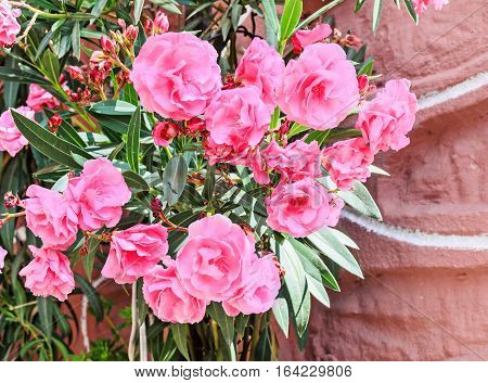 Pink Flowers Of Nerium Oleander, Evergreen Shrub, Family Apocynaceae