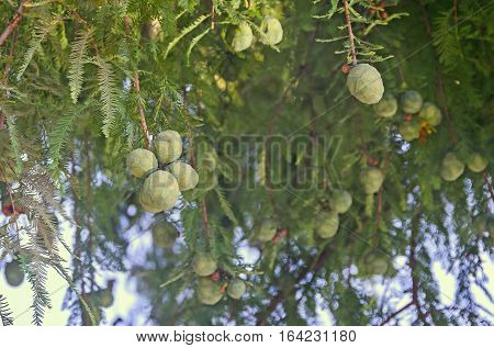 Baby Green Pine Cone, Seeds, Branch Needles, Outdoor Close Up