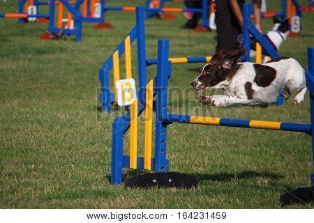 A Working Type English Springer Spaniel Pet Gundog Jumping An Agility Jump