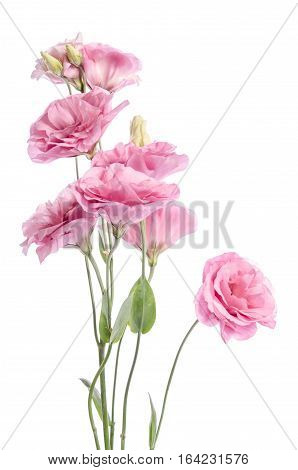 bunch of pink eustoma flowers isolated on white