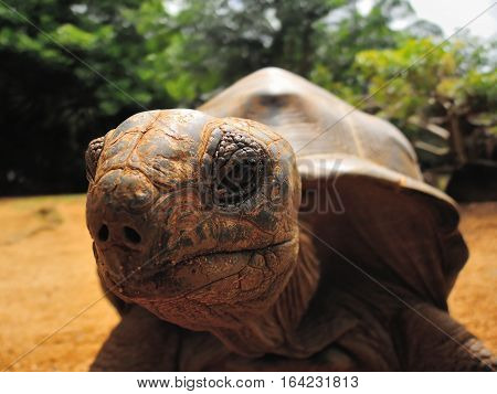 Big Aldabra tortoise face detail in Mauritius.