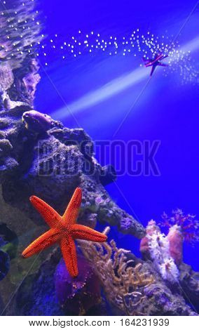 Red starfish among the corals in the aquarium.