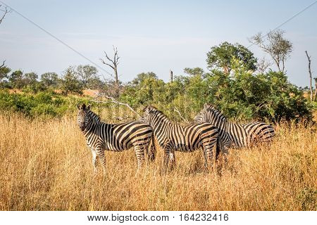 Three Zebras Standing In The Grass.